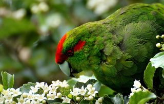 Photograph of a kakariki