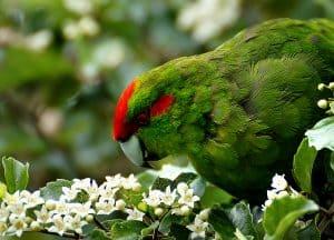 Photograph of a kakariki or red-crown parakeet
