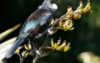 Caption of Tui on New Zealand flax