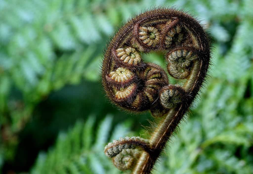Caption of a new unfurling silver fern frond or koru