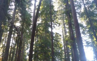 Caption of a backlit redwood trees